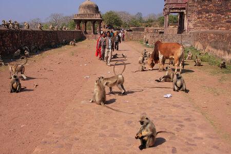 gray langur: Local people walking around Ranthambore Fort amongst gray langurs, Rajasthan, India