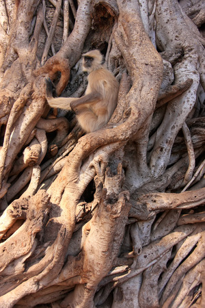 semnopithecus: Gray langur  Semnopithecus dussumieri  sitting in a big tree, Ranthambore National Park, Rajasthan, India