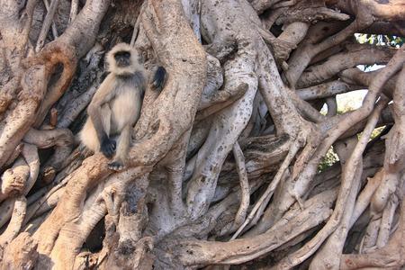 semnopithecus: Gray langur  Semnopithecus dussumieri  sitting in a big tree, Ranthambore National Park, Rajasthan, India