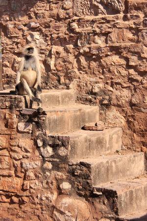 semnopithecus: Gray langur  Semnopithecus dussumieri  sitting at Ranthambore Fort, Rajasthan, India