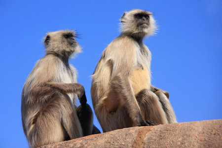 semnopithecus: Gray langurs  Semnopithecus dussumieri  sitting at Ranthambore Fort, Rajasthan, India