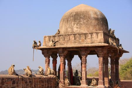 semnopithecus: Gray langurs  Semnopithecus dussumieri  sitting at Ranthambore Fort, Rajasthan, India