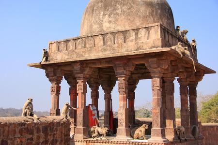 gray langur: Gray langurs  Semnopithecus dussumieri  playing at Ranthambore Fort, Rajasthan, India Stock Photo