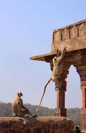semnopithecus: Gray langurs  Semnopithecus dussumieri  playing at Ranthambore Fort, Rajasthan, India Stock Photo