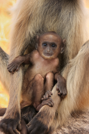 semnopithecus: Baby Gray langur  Semnopithecus dussumieri  resting in mothers arms, Ranthambore Fort, Rajasthan, India Stock Photo