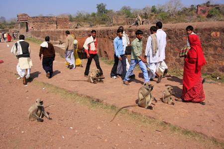 semnopithecus: Local people walking around Ranthambore Fort amongst gray langurs, Rajasthan, India