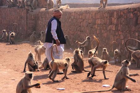 gray langur: Indian man standing near gray langurs at Ranthambore Fort, Rajasthan, India Editorial