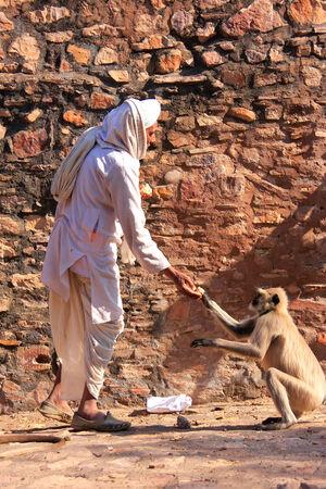 semnopithecus: Indian man feeding gray langurs at Ranthambore Fort, Rajasthan, India