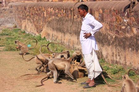 semnopithecus: Indian man standing near gray langurs at Ranthambore Fort, Rajasthan, India Editorial