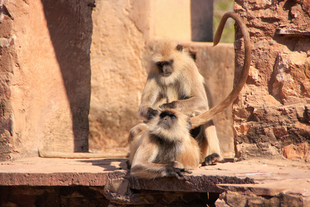 semnopithecus: Gray langurs  Semnopithecus dussumieri  grooming at Ranthambore Fort, Rajasthan, India