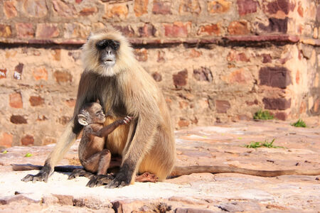 semnopithecus: Gray langur  Semnopithecus dussumieri  with a baby sitting at Ranthambore Fort, Rajasthan, India Stock Photo