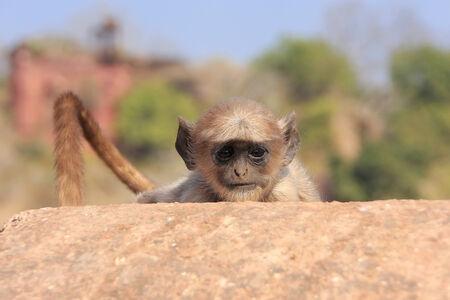 semnopithecus: Baby Gray langur  Semnopithecus dussumieri  playing at Ranthambore Fort, Rajasthan, India Stock Photo