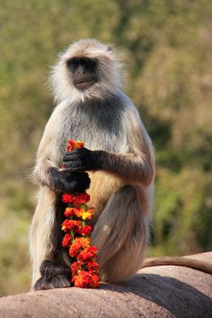 hanuman langur: Gray langur  Semnopithecus dussumieri  sitting with flowers at Ranthambore Fort, Rajasthan, India
