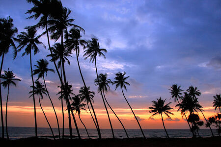Silhouetted palm trees at sunset, Unawatuna, Sri Lanka photo