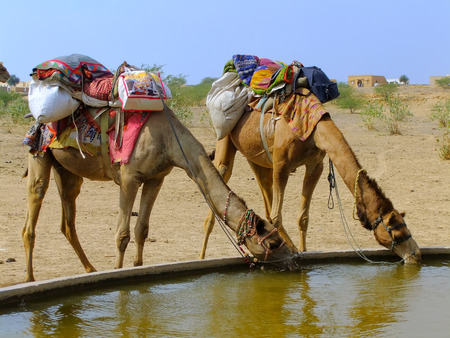 Camels drinking from reservoir in a small village during camel safari, Thar desert, Rajasthan, India photo