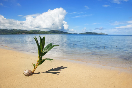 Palm tree sprout on a tropical beach, Nananu-i-Ra island, Fiji, South Pacific