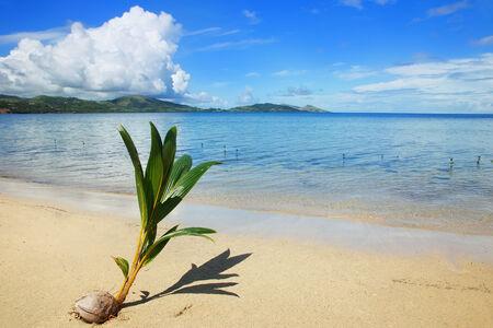 Palm tree sprout on a tropical beach, Nananu-i-Ra island, Fiji, South Pacific