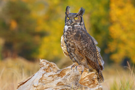 virginianus: Great horned owl (Bubo virginianus) sitting on a stump