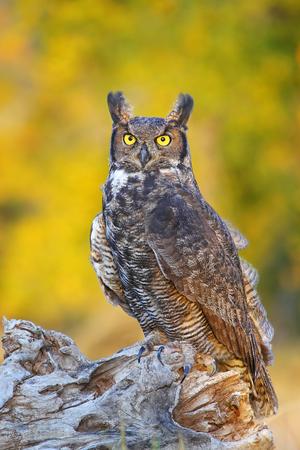 virginianus: Great horned owl (Bubo virginianus) sitting on a stump