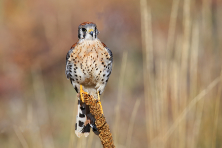 American kestrel (Falco sparverius) sitting on a mullein photo