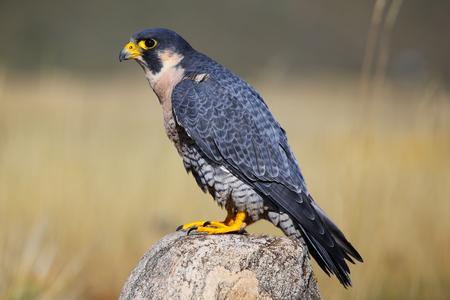 duck hawk in north america: Peregrine falcon (Falcon peregrinus) sitting on a rock Stock Photo