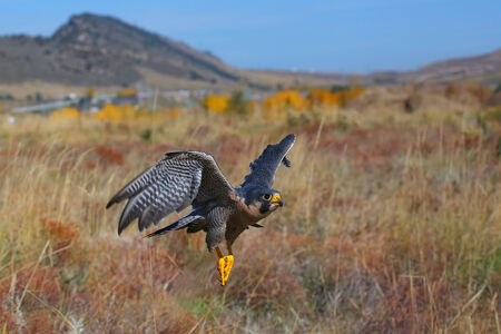 duck hawk in north america: Peregrine falcon (Falcon peregrinus) flying in a field Stock Photo