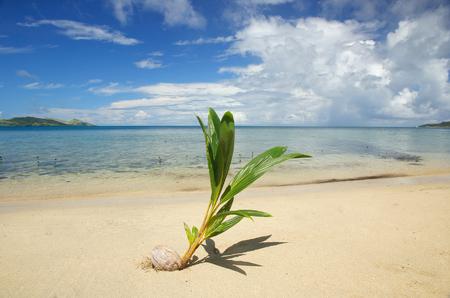 colonizer: Palm tree sprout on a tropical beach, Nananu-i-Ra island, Fiji, South Pacific