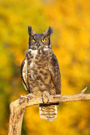 Great horned owl (Bubo virginianus) sitting on a stick Stock Photo