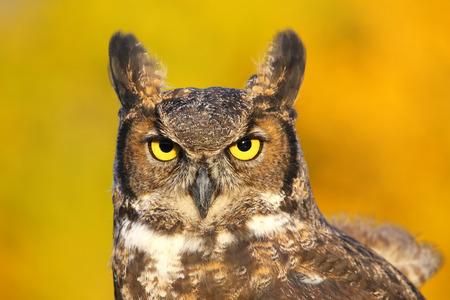 nocturnal: Portrait of Great horned owl (Bubo virginianus)
