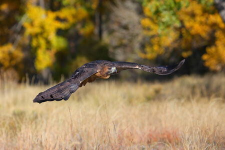 eagle falls: Red-tailed hawk (Buteo jamaicensis) in flight