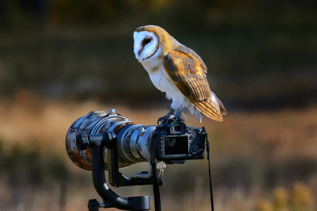 camera lens: Barn owl (Tyto alba) sitting on a camera