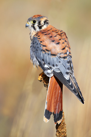 eagle falls: American kestrel (Falco sparverius) sitting on a mullein Stock Photo
