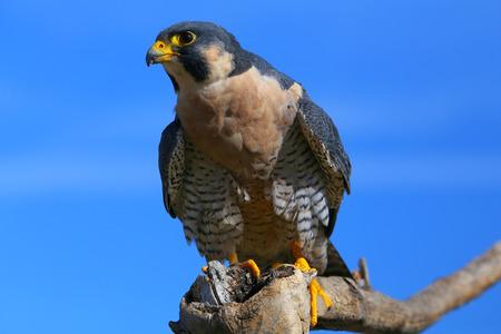 duck hawk in north america: Peregrine falcon (Falcon peregrinus) sitting on a stick