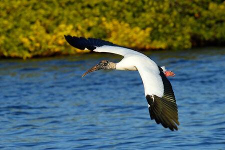 Wood stork (Mycteria americana) flying low above water photo