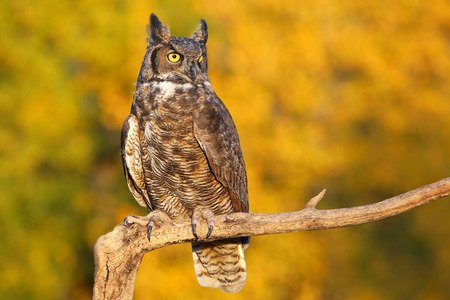 virginianus: Great horned owl (Bubo virginianus) sitting on a stick Stock Photo