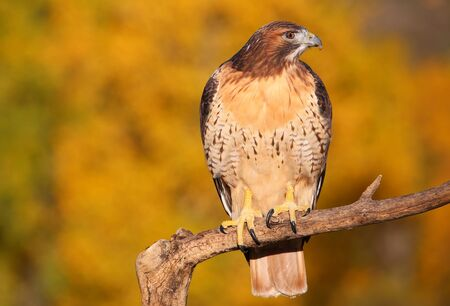 yellow tailed: Red-tailed hawk (Buteo jamaicensis) sitting on a stick