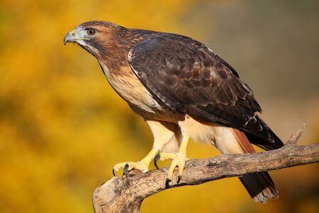 eagle falls: Red-tailed hawk (Buteo jamaicensis) sitting on a stick