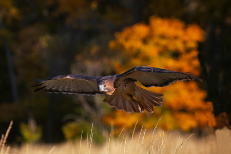 yellow tailed: Red-tailed hawk (Buteo jamaicensis) in flight