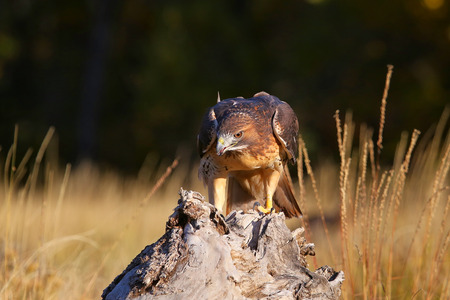 eagle falls: Red-tailed hawk (Buteo jamaicensis) sitting on a stump
