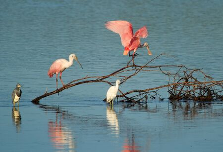 darling: Roseate Spoonbills at Ding Darling National Wildlife Refuge Stock Photo