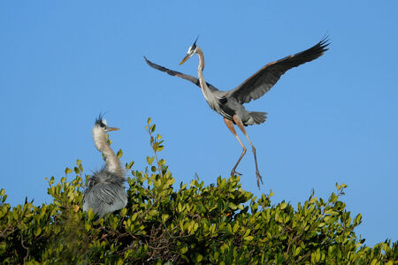 herodias: Great blue heron (Ardea herodias) flying to the nest