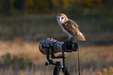 alba: Barn owl (Tyto alba) sitting on a camera