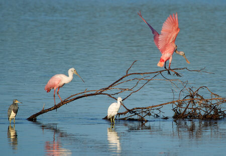 refuge: Roseate Spoonbills at Ding Darling National Wildlife Refuge Stock Photo