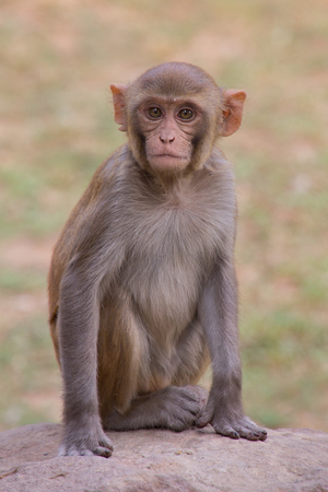 Young Rhesus Macaque sitting at Tughlaqabad Fort, New Delhi, India