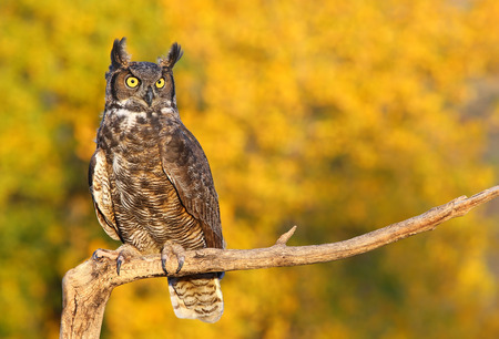 owl eye: Great horned owl (Bubo virginianus) sitting on a stick Stock Photo