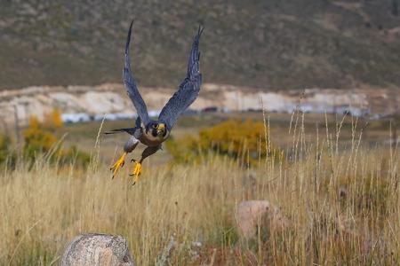 Peregrine falcon (Falcon peregrinus) flying in a field Reklamní fotografie