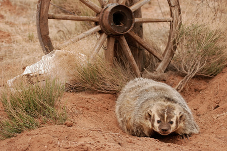 dirt on ground: American badger (Taxidea taxus) sitting on the dirt ground