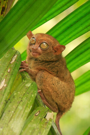 southeast: Tarsier sitting on a tree, Bohol island, Philippines, Southeast Asia Stock Photo
