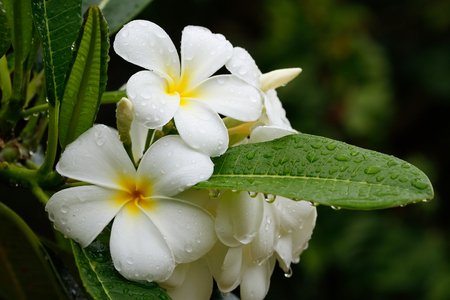 White plumeria flowers on a tree with water drops photo