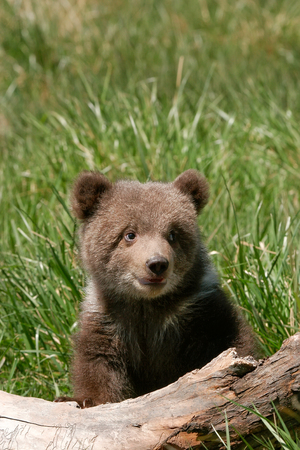 cubs: Grizzly bear cub (Ursus arctos) sitting on the log in green grass